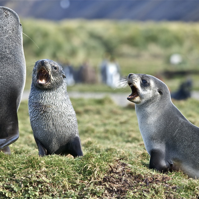 """Singing seals"" stock image"