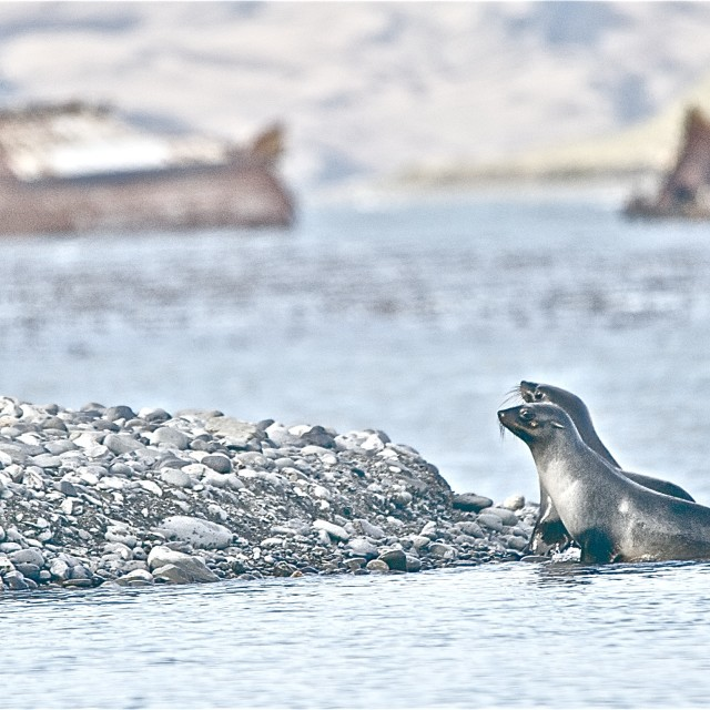"""Seals in sea"" stock image"
