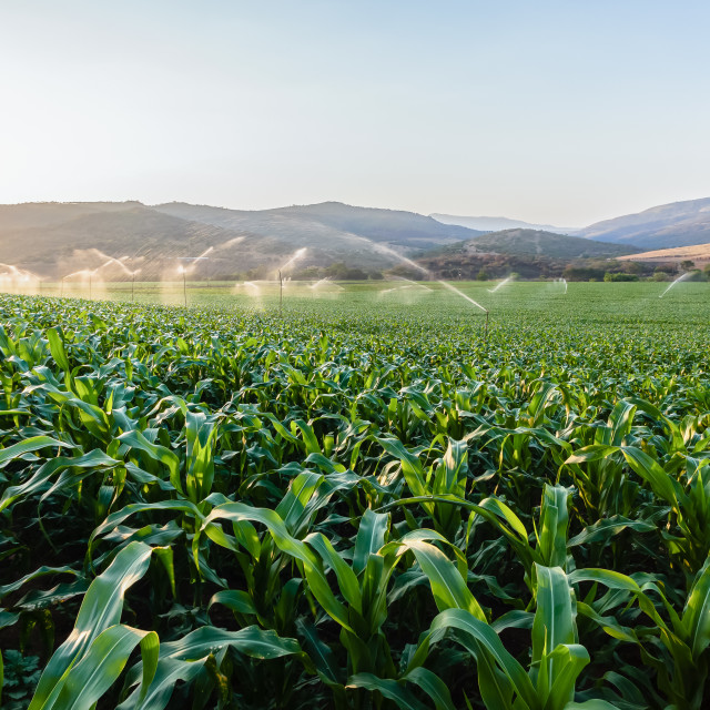 """Farm Maize Crops"" stock image"