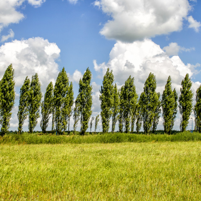 """""""Row of trees in the wind"""" stock image"""