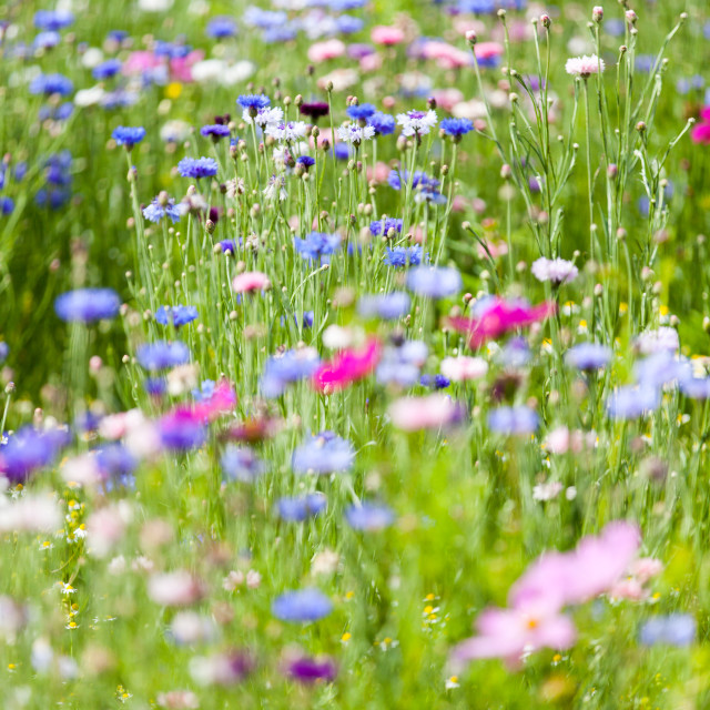 """flower meadow"" stock image"