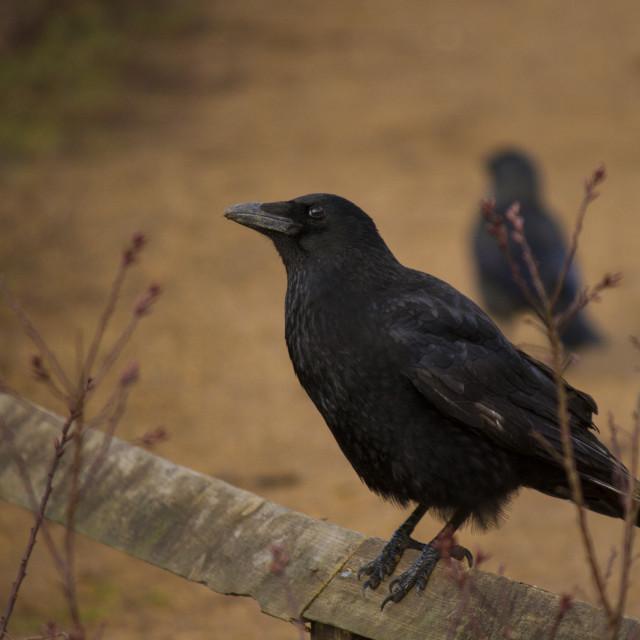 """Crow"" stock image"