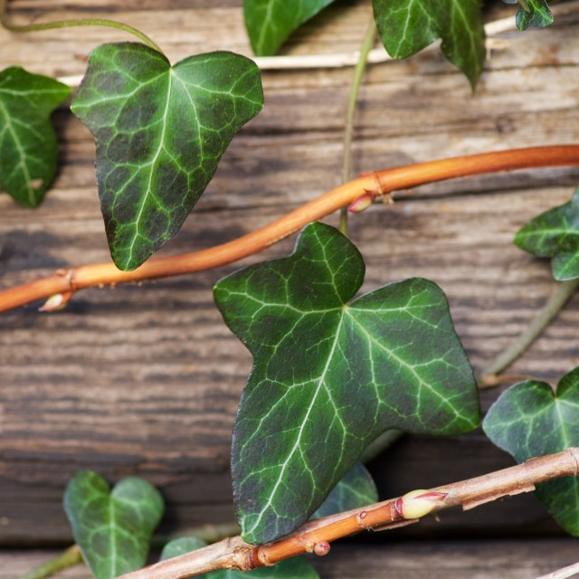 """""""Green leaves against wooden wall"""" stock image"""