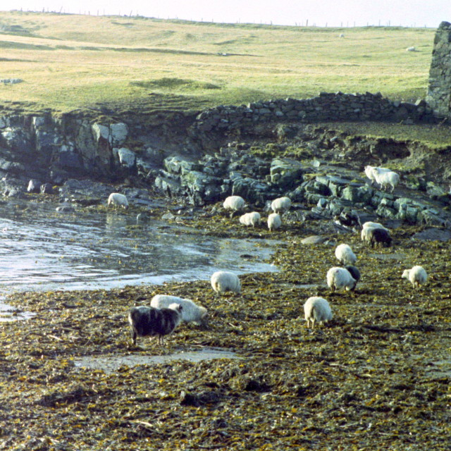 """Sheep grazing seaweed"" stock image"