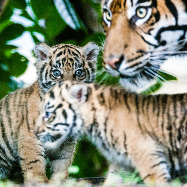 """Sumatran Tiger Family"" stock image"