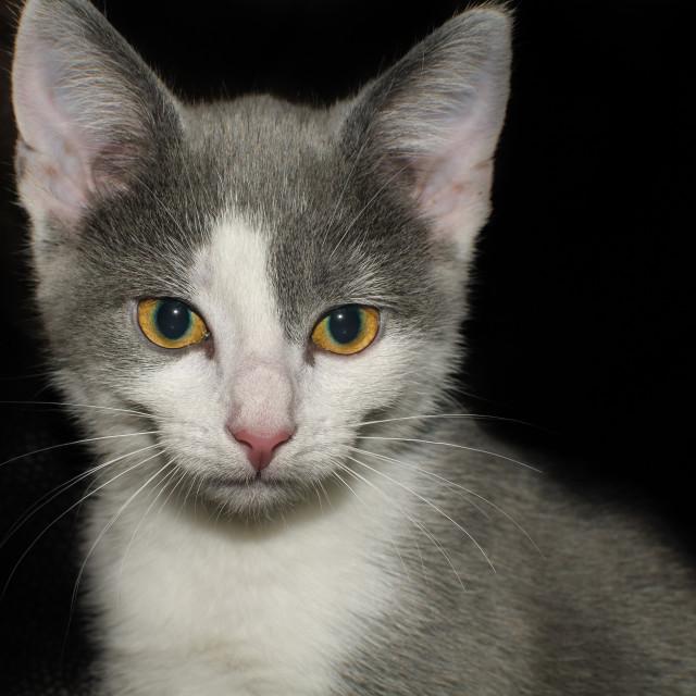 """""""Grey kitten in Low Key"""" stock image"""