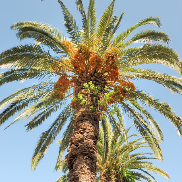 """""""Date palm"""" stock image"""