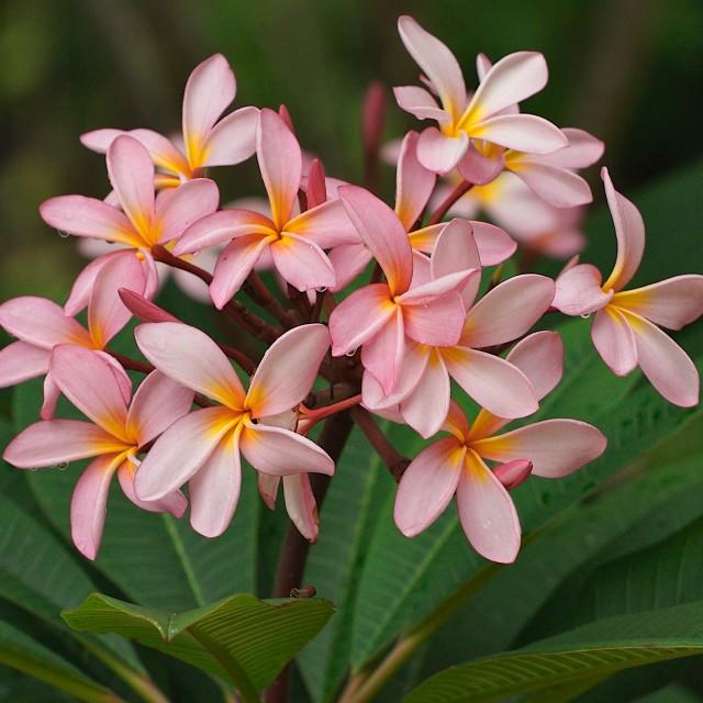 """""""Plumeria"""" stock image"""