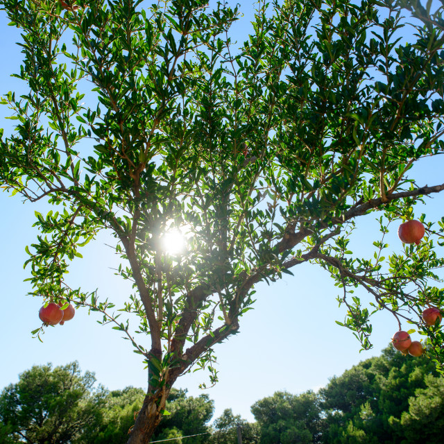 """Pomegranate on the tree"" stock image"