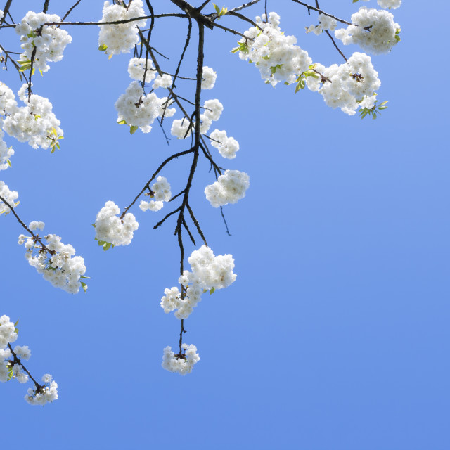 """White Flower in a branch"" stock image"