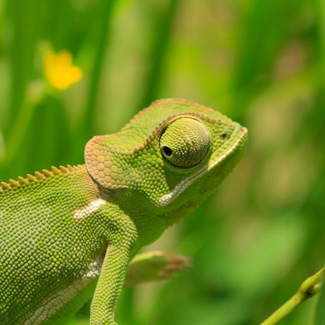 """Grumpy Chameleon"" stock image"