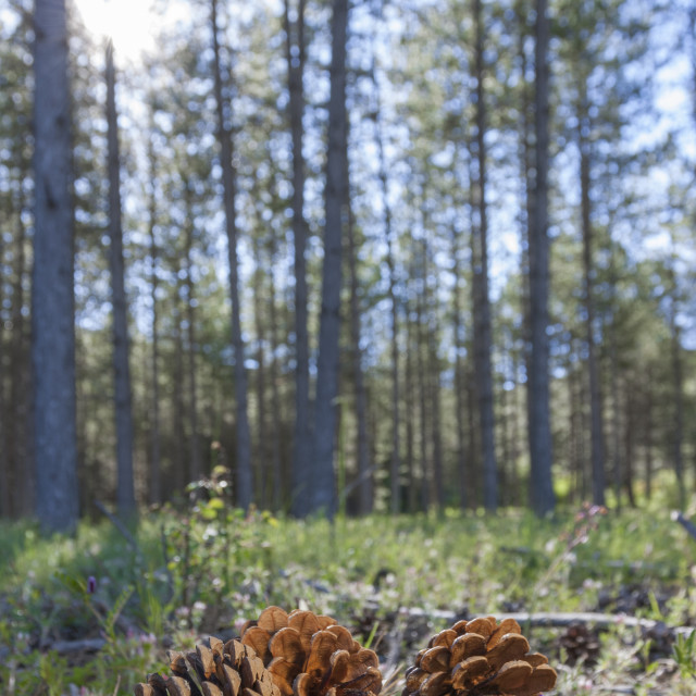 """Pinecone in the forest"" stock image"