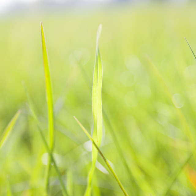 """Grass background"" stock image"
