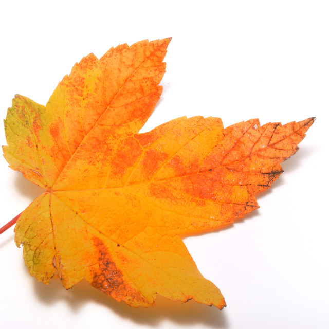 """""""Leaf on a white background"""" stock image"""