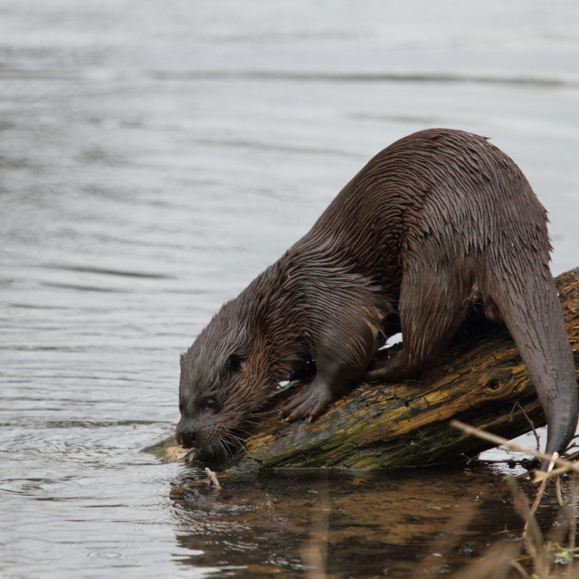 """""""Otter, Norfolk"""" stock image"""