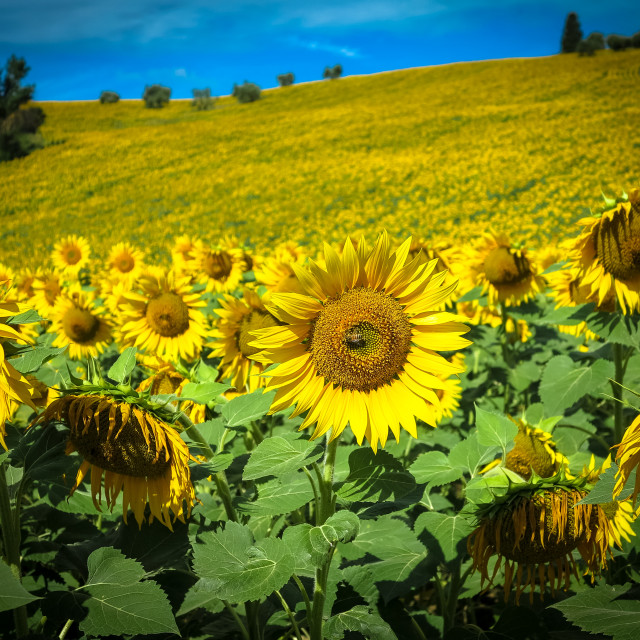 """""""Sunflower and Bee"""" stock image"""