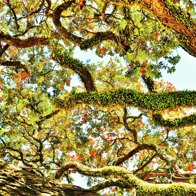 """Ivy on Pohutukawa"" stock image"