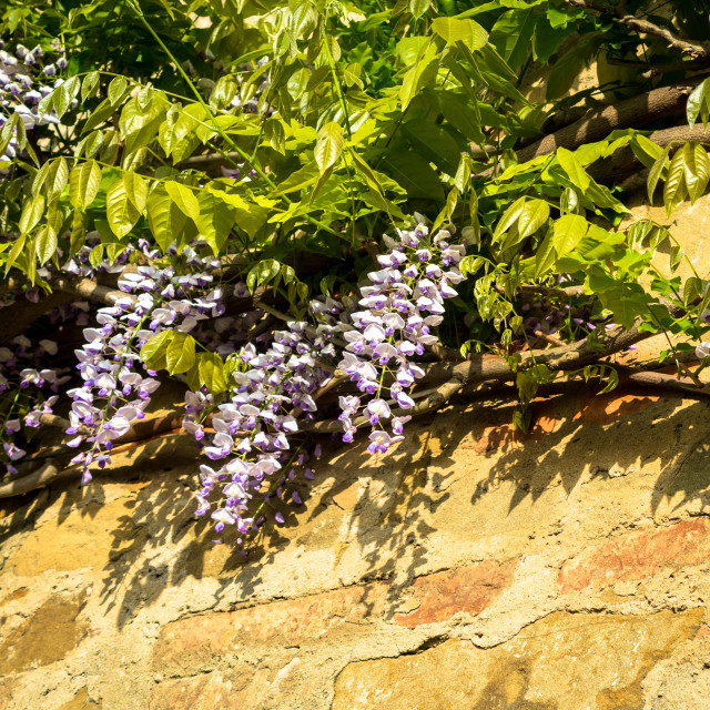 """Wisteria bloom with shadow on a wall"" stock image"