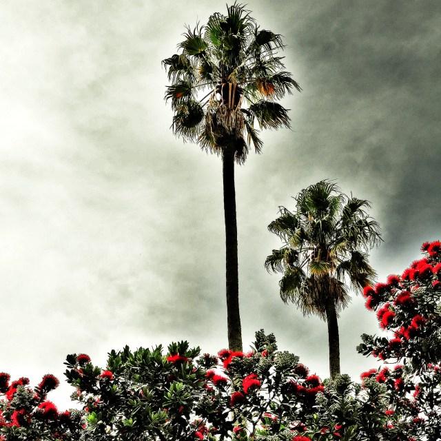 """Palm and Pohutukawa"" stock image"