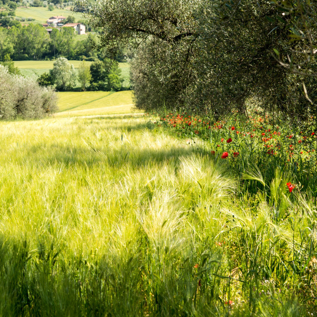 """""""Wheatfield and Poppies in Early Summer"""" stock image"""