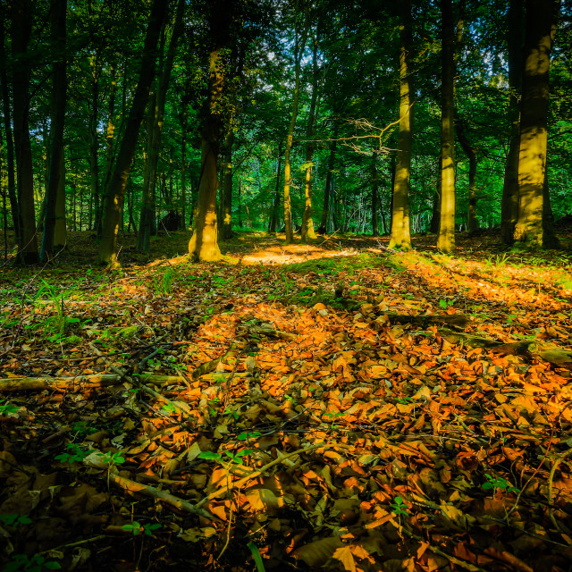 """Forest Shadows"" stock image"
