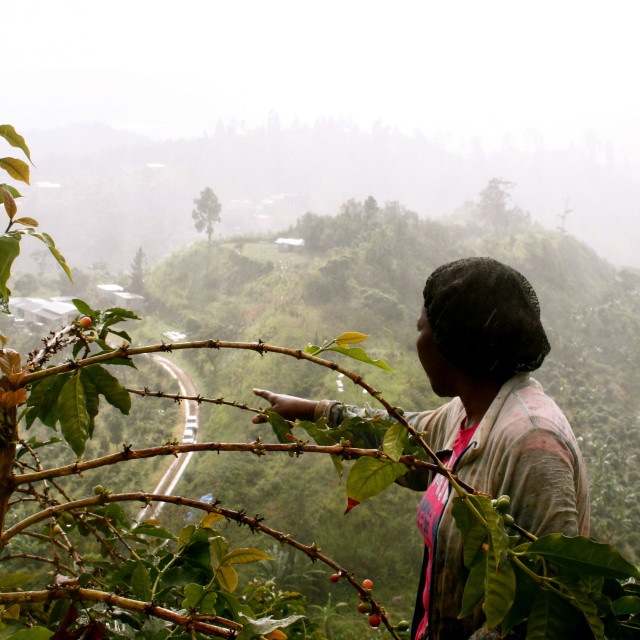 """Coffee picker at the plantation"" stock image"