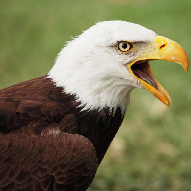 """bald eagle"" stock image"