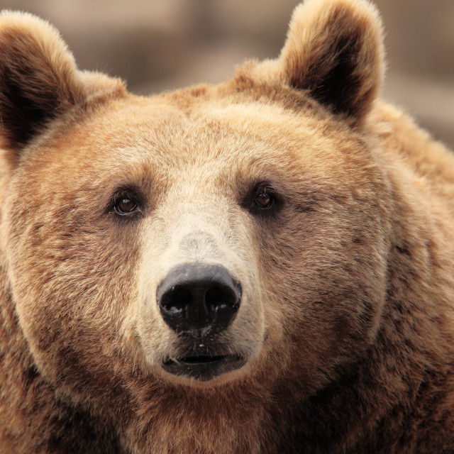 """the face of a bear"" stock image"