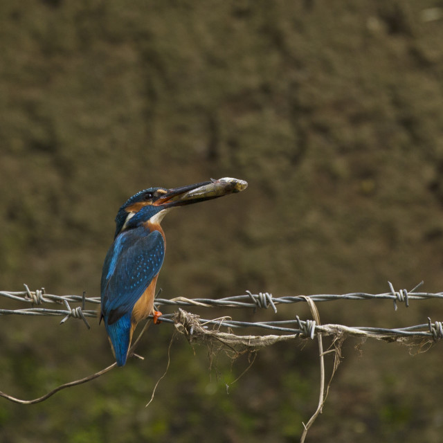 """""""Kingfisher with a Perch"""" stock image"""