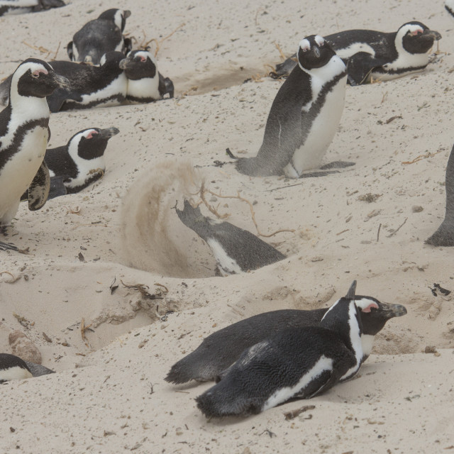 """Burrowing penguin"" stock image"