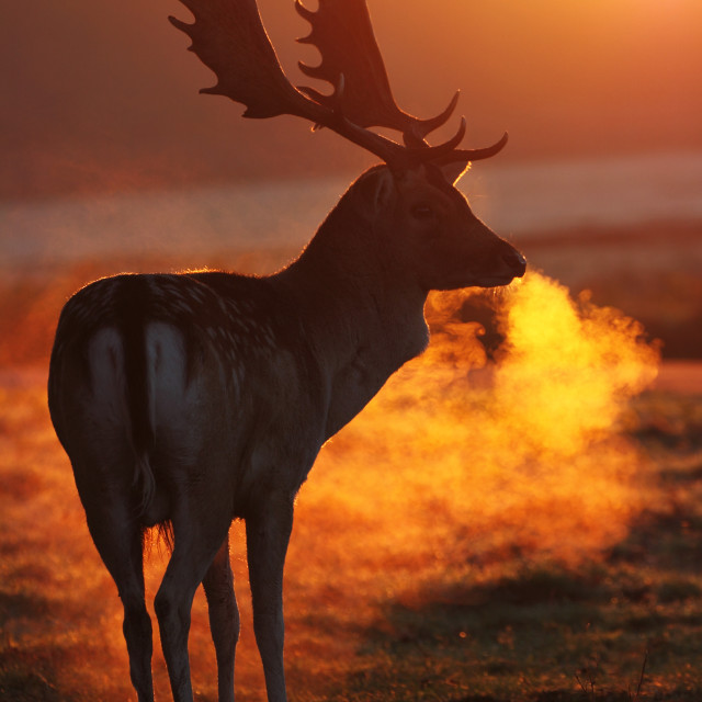 """Fallow Deer at sunrise"" stock image"