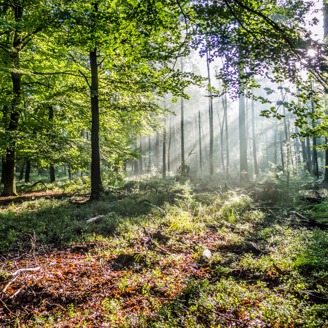"""Morning forrest"" stock image"