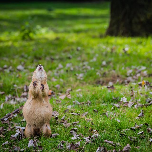 """Prairie Dog"" stock image"