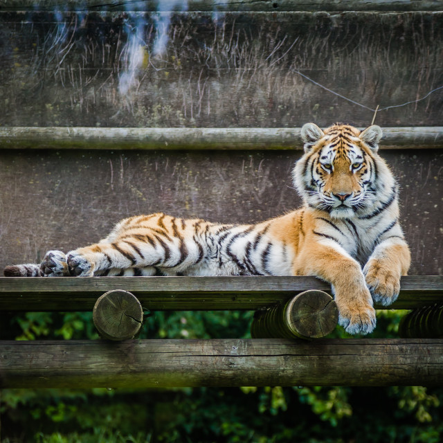 """Tiger laying down"" stock image"