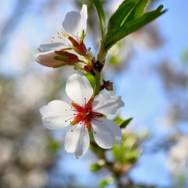 """almonds flower"" stock image"