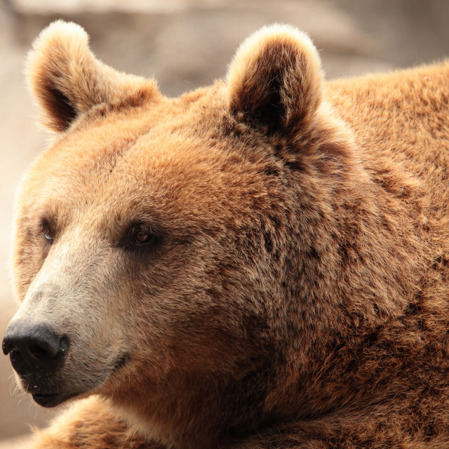 """""""the face of a bear"""" stock image"""