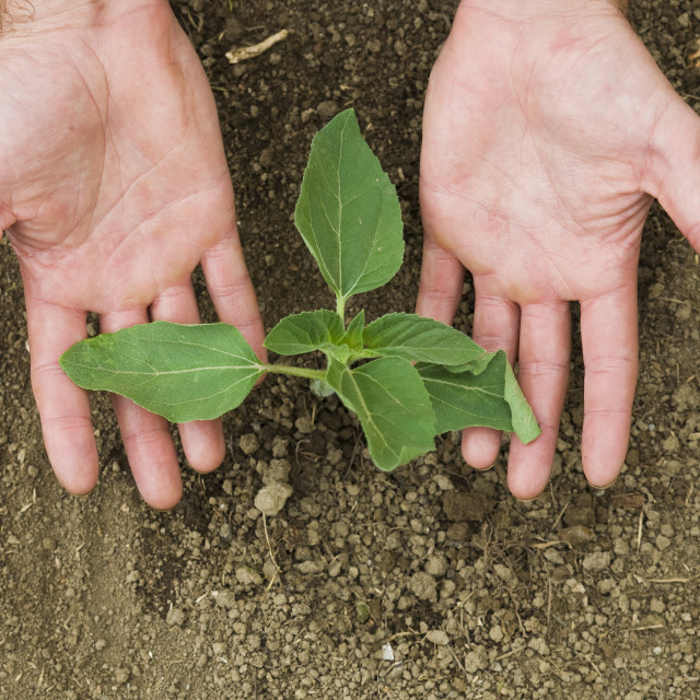 """Hands holding a little plant recently planted in the ground"" stock image"