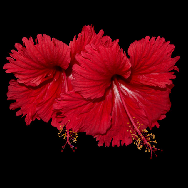 """Red Hibiscus arrangement"" stock image"