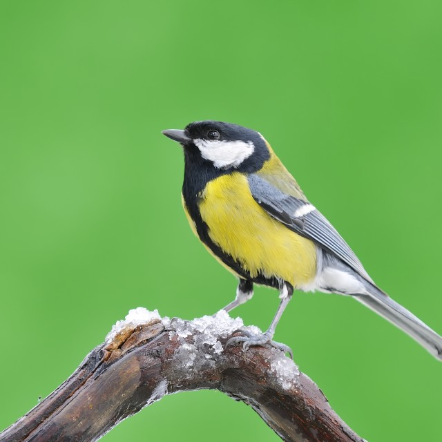 """Great tit in the winter."" stock image"