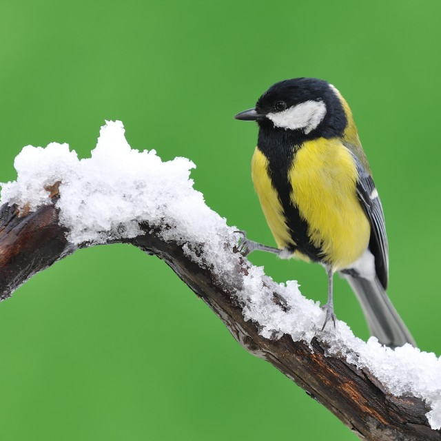 """Great tit in the snow."" stock image"