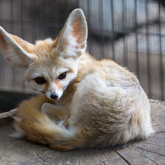"""""""Fennec fox resting in its bed"""" stock image"""