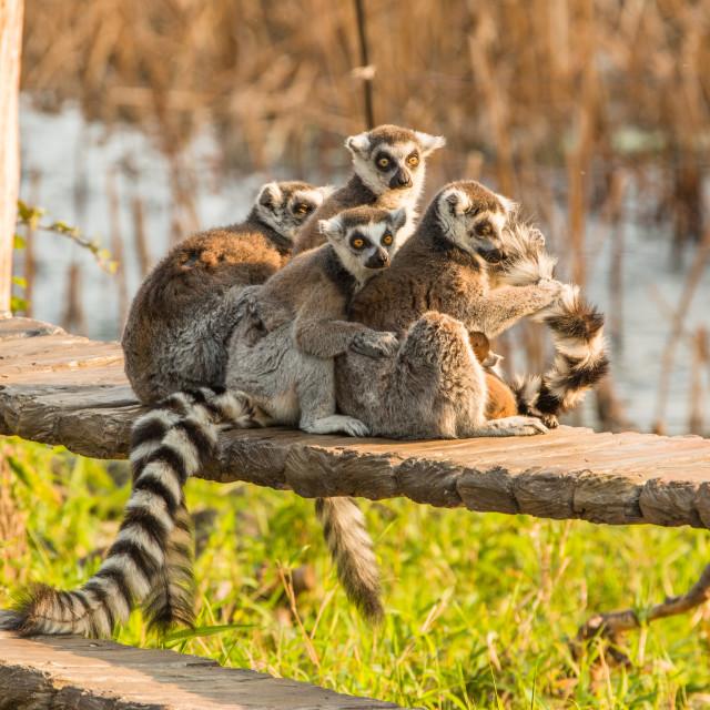"""Ring tailed lemurs"" stock image"
