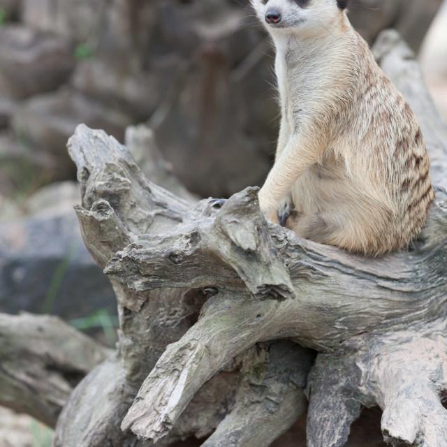 """""""Meerkat looking alert at something"""" stock image"""