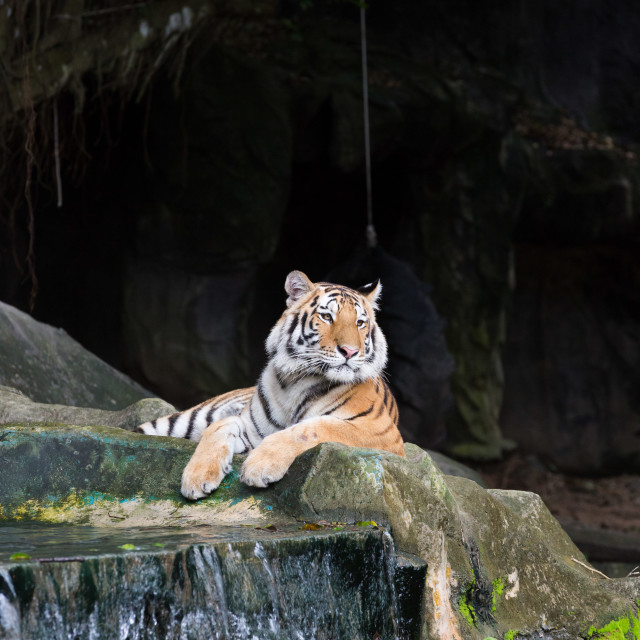 """""""Majestic crouching tiger looking at"""" stock image"""
