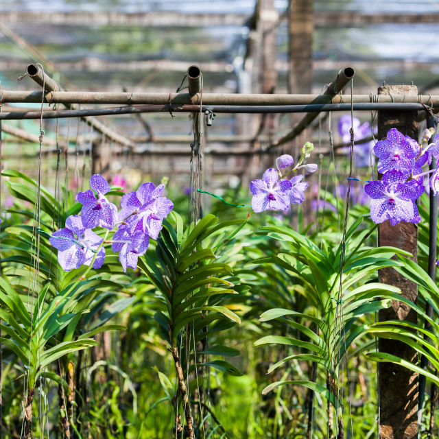 """""""Purple orchid farm in thailand"""" stock image"""