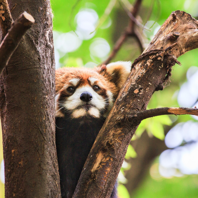 """""""Very adorable red panda"""" stock image"""