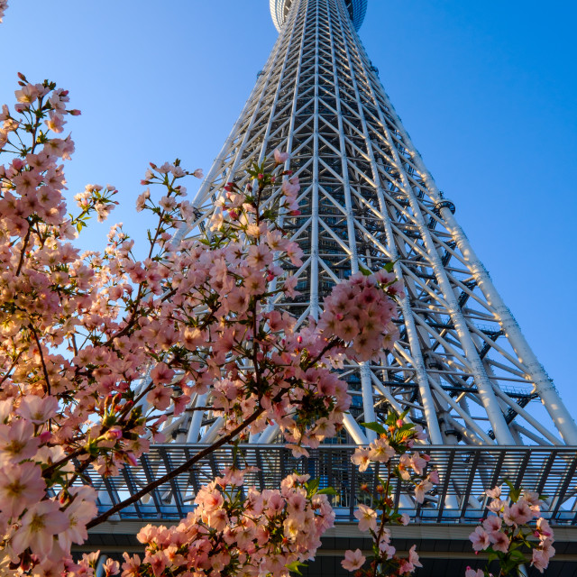 """TOKYO - APRIL 15: Tokyo Sky Tree. The 2nd tallest building of the world and tallest of Japan (634m). On April 15th in Sumida, Tokyo, Japan."" stock image"