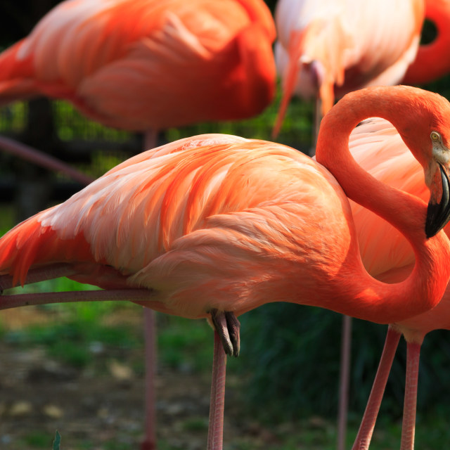 """Close up on red flamingo"" stock image"