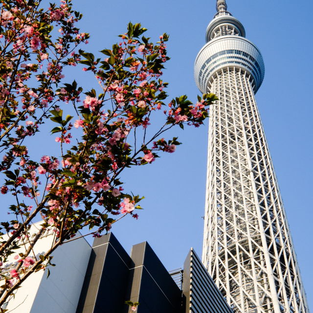 """TOKYO - CIRCA MAY 2014: Tokyo Sky Tree. The 2nd tallest building of the world and tallest of Japan (634m). On circa April 2014 in Sumida, Tokyo, Japan."" stock image"