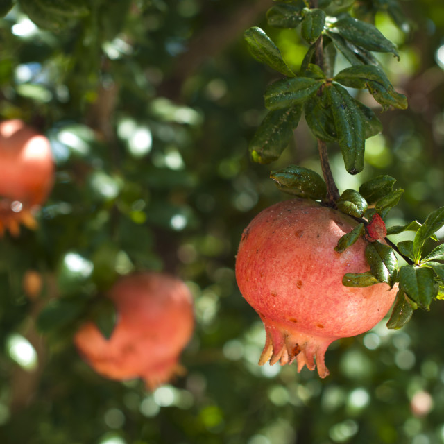 """""""Pomegranate on a tree branch"""" stock image"""
